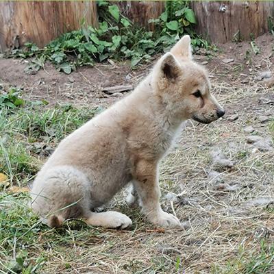Wolf Education & Advocacy - Denali