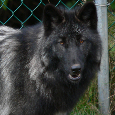 Wolf advocacy & education - Mahikan