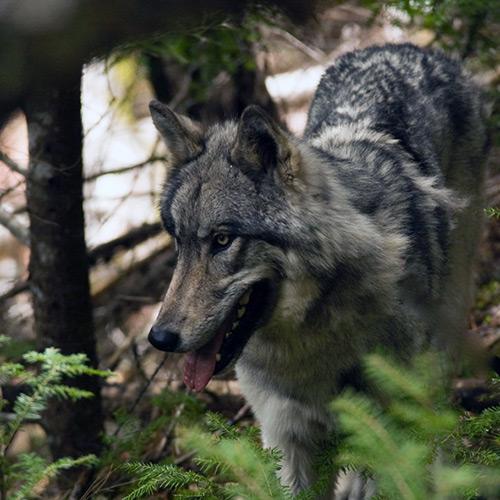 Tundra Speaks - Wolf education blog