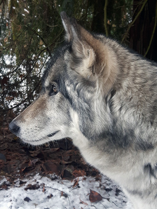 Tundra - side profile image - wolf education