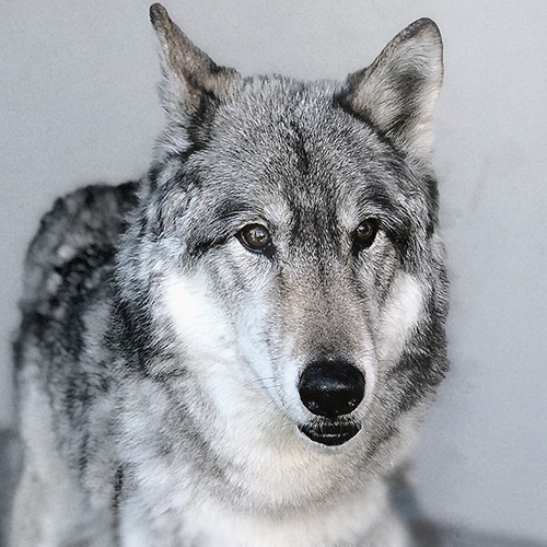 Tundra - Wolf Education