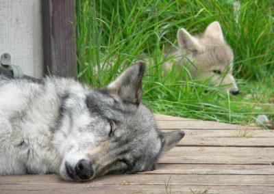 WolvesSleep