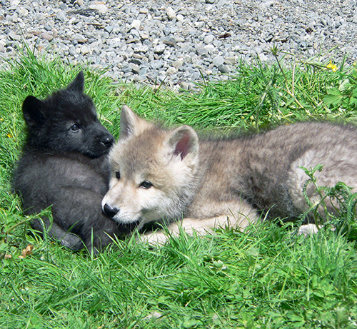 Wolf Education - Wolf pups