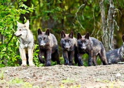 wolf-pups-slider